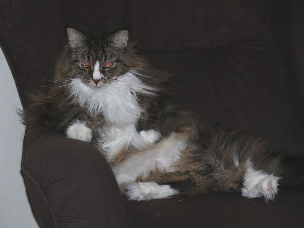 Katze sitzt im Sessel